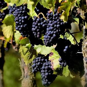 葡萄品种介绍
